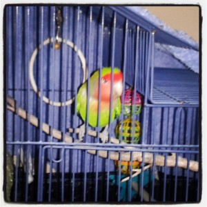 The budgie!