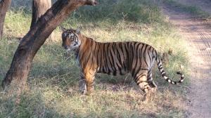 Wild tiger on safari in India.
