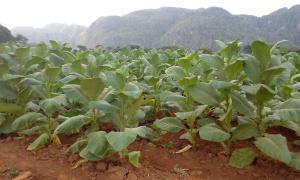 The tobacco farm